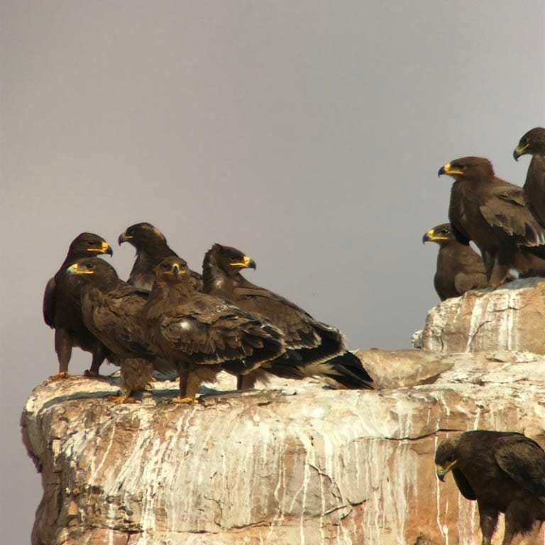 Steppe Eagles (Aquila nipalensis) at dump sites north-west of Riyadh, Saudi Arabia