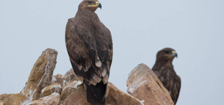 Steppe Eagle Aquila nipalensis perching on a rock in Riyadh, Saudi Arabia