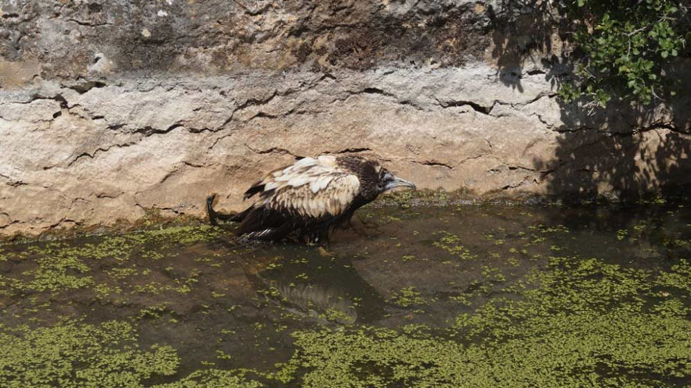 Anna the Egyptian Vulture found in poor condition in a pond