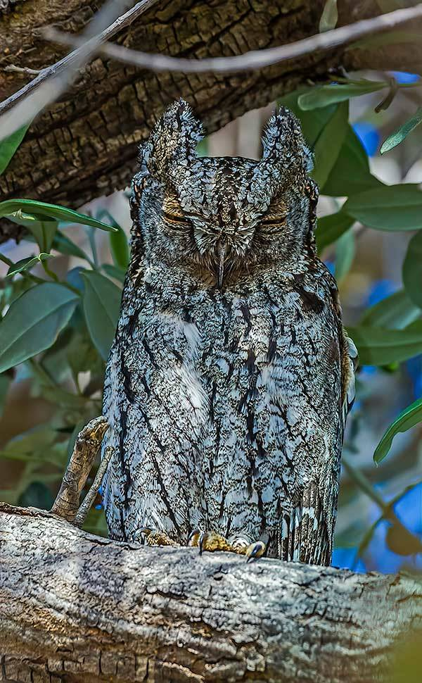Cyprus Scops Owl Otus cyprius. Photo by Albert Stöcker.