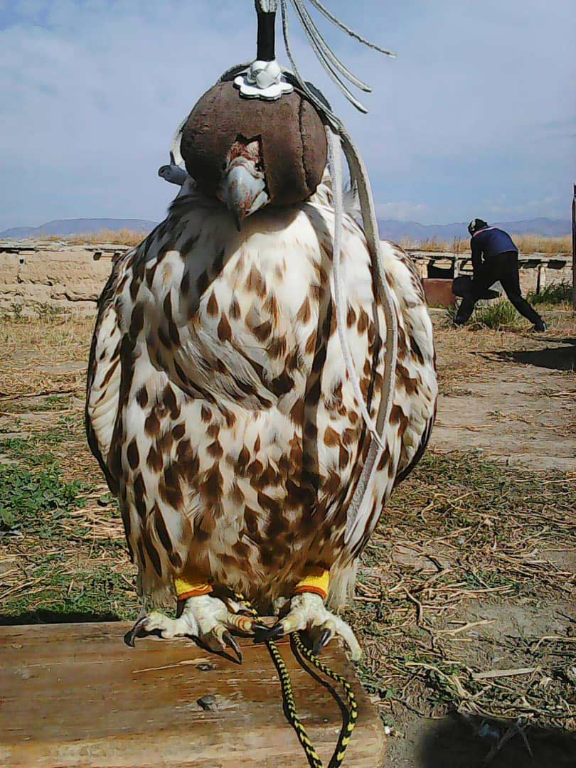 A captive Saker – interviewing falconers was important. © Bolot Tagaev.