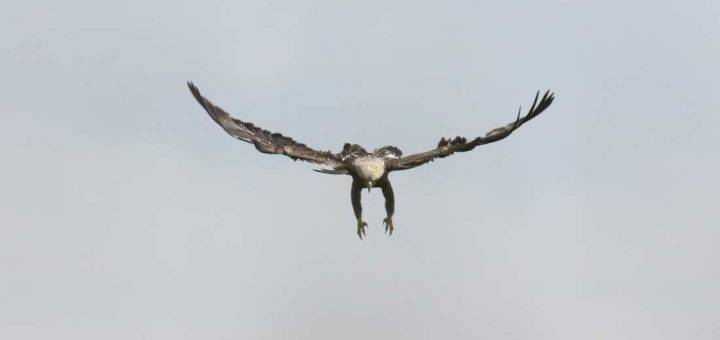 Adult Eastern Imperial Eagle Aquila heliaca. © Cansu Özcan.