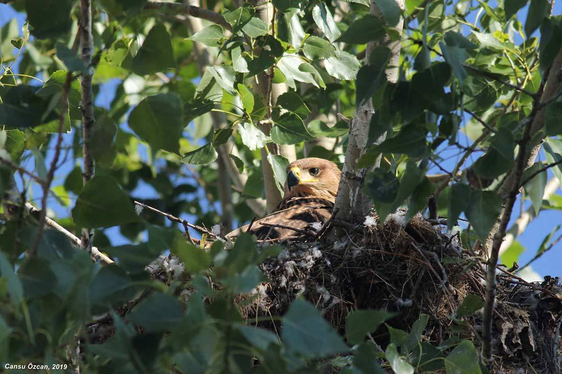 A young Eastern Imperial Eagle Aquila heliaca in the nest. © Cansu Özcan.