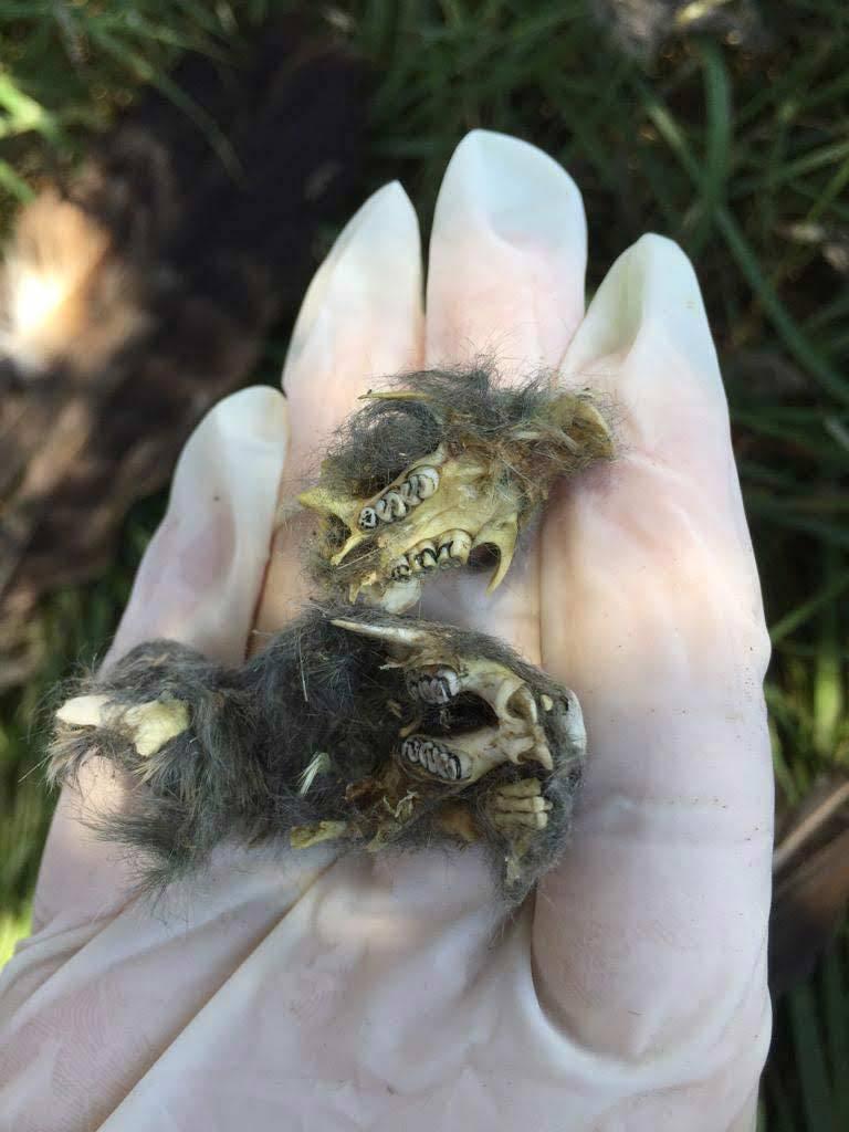 Skulls of Blind Mole Rats under an Imperial Eagle Aquila heliaca nest. © Cansu Özcan.
