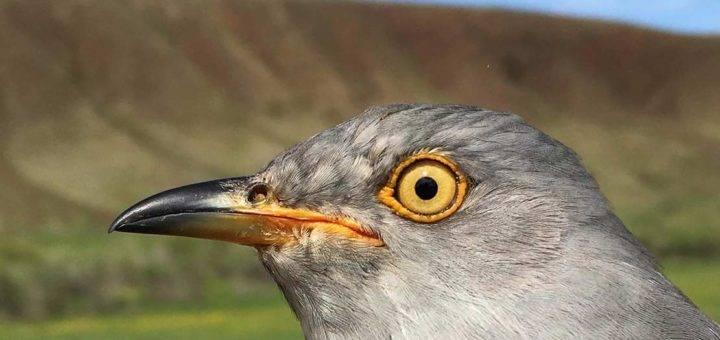 Cuckoos Connecting Schools in Mongolia and Socotra, Yemen
