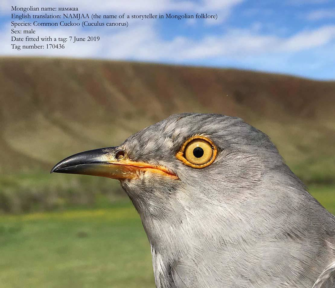 Cuckoos Connecting Schools in Mongolia and Socotra, Yemen