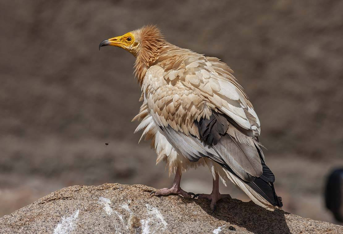 Egyptian Vulture Neophron percnopterus