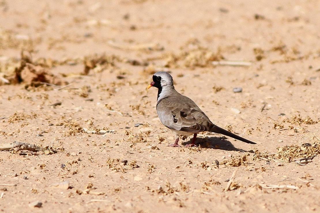 Namaqua Dove Oena capensis