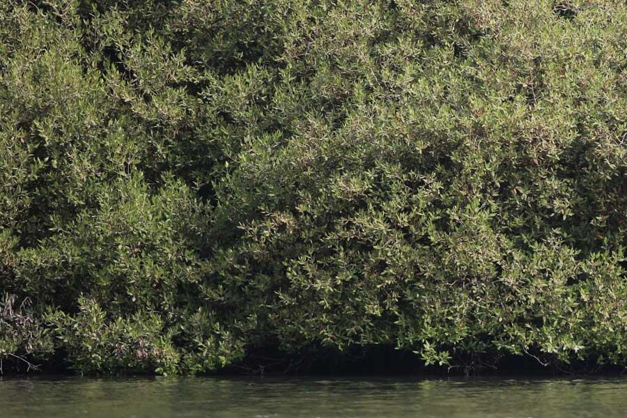 Red Sea Mangroves, Jizan Province, Saudi Arabia, 2 June 2016 © Jem Babbington.