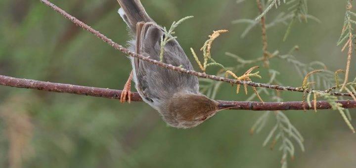 Socotra Warbler Incana incana